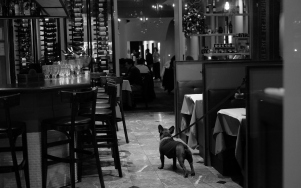 Frenchie in a French Restaurant